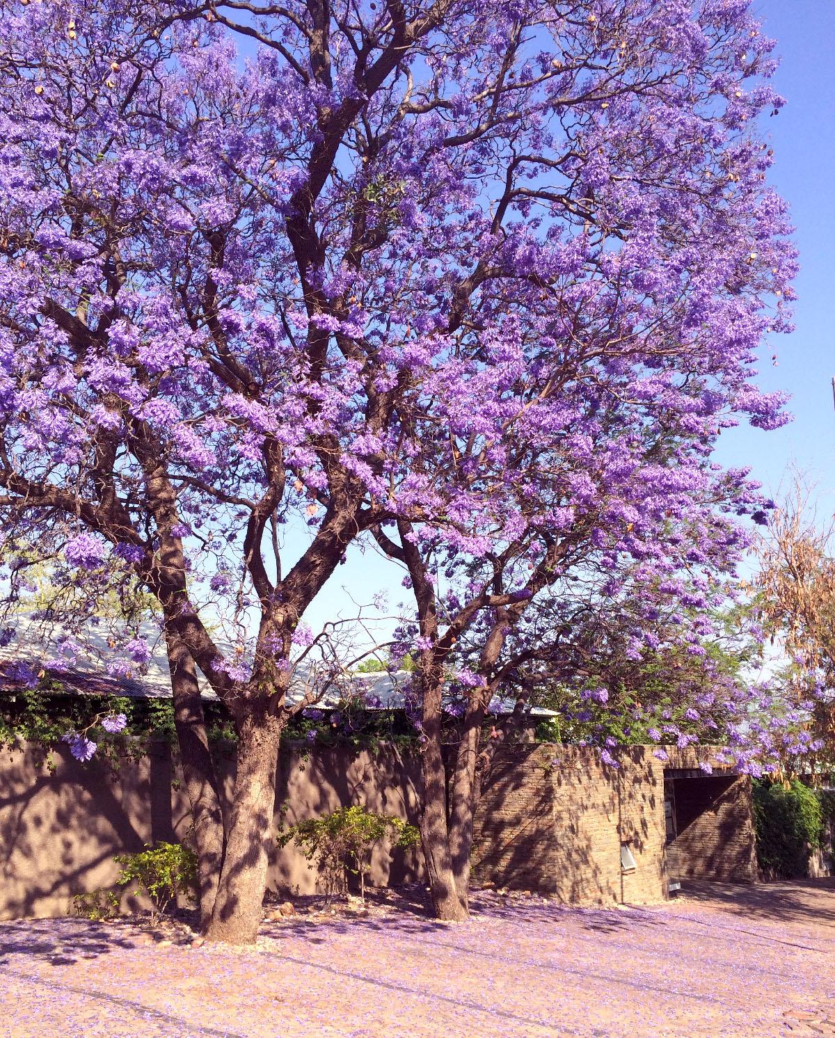 南部アフリカに多い、ジャカランダの木