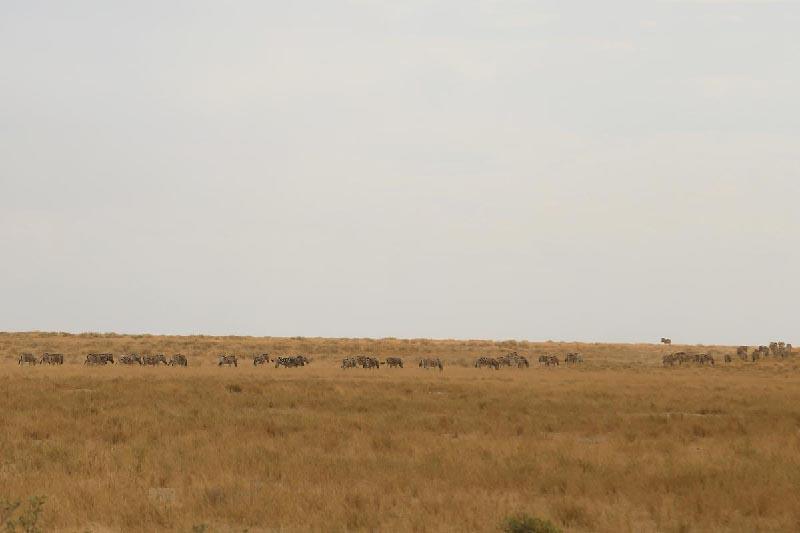 野生動物の群れ -Etosha National Park