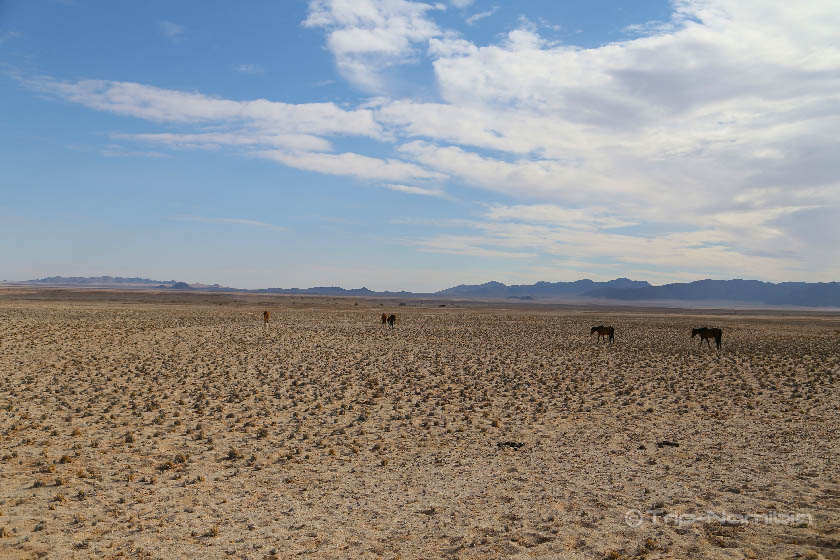 Desert Horse 砂漠 野生 馬