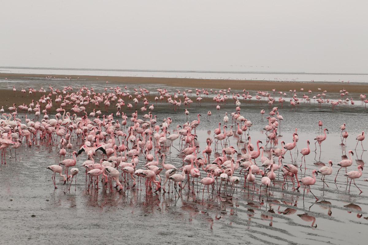 Lesser Flamingo Pintレッサーフラミンゴ