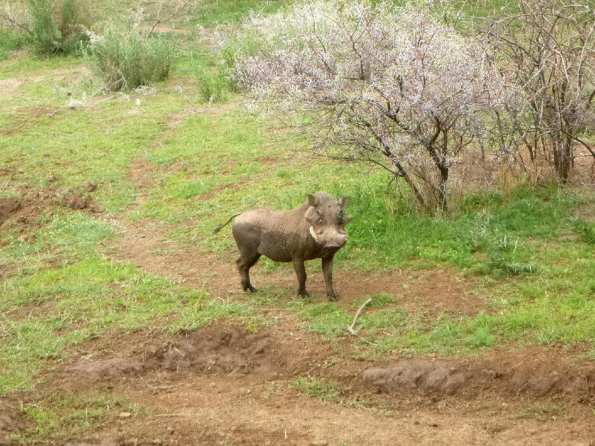 Wild boar イノシシ
