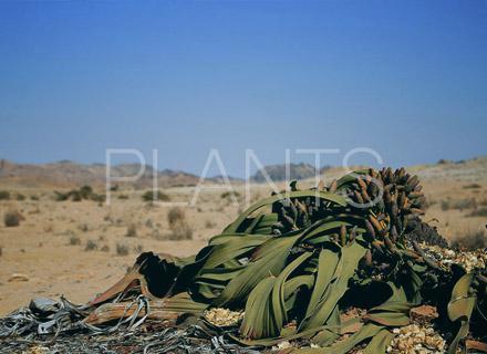 ナミビア植物