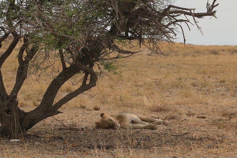野生ライオン -Etosha National Park