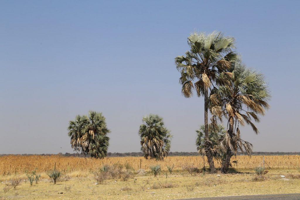 マハング畑