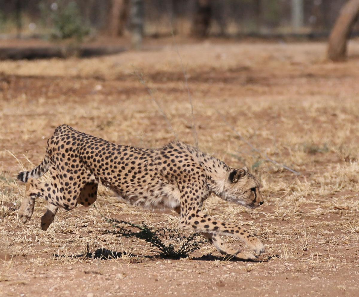 ナミビアチーターcheetah