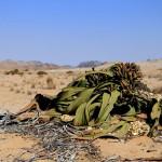 Welwitschia Mirabilis(ウィルウィッチア)