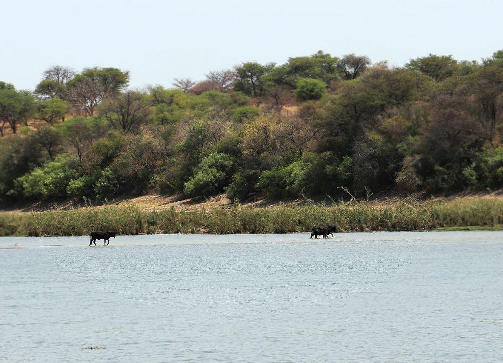 川を渡る牛